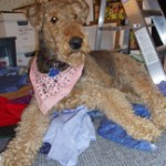Alice the most wonderful Airedale