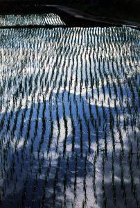 memoir-writing, memoir rice field, memoir writing prompt