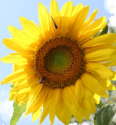 sunflower memoir, memoir writing contest