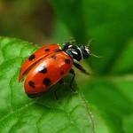 ladybug_604