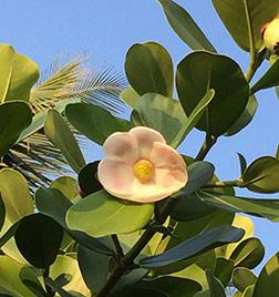 Clusia-Blossom